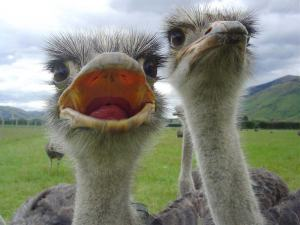 foto-avestruz