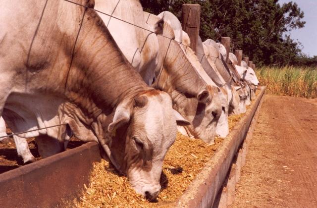 gado-de-corte-confinamento-portal-agropecuario.jpg