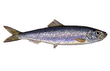 Peixe-Sardinha-3.jpg