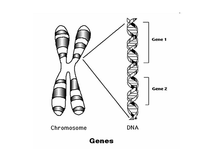 Image result for chromosome and gene