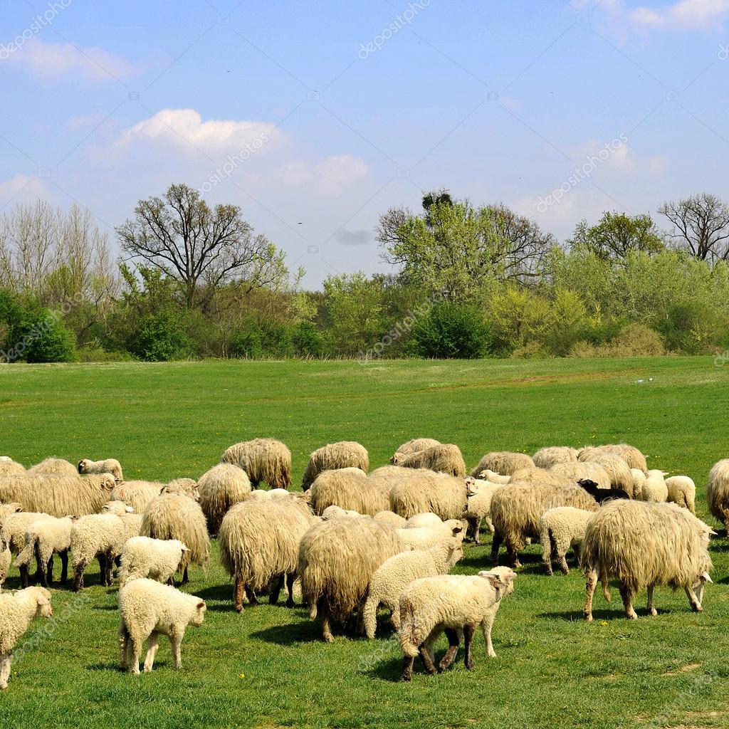 depositphotos_2431688-stock-photo-sheep-grazing.jpg