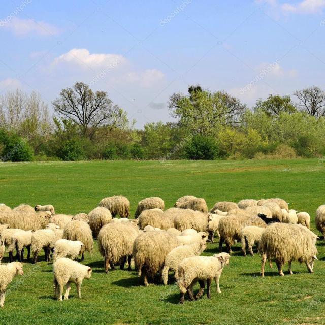 depositphotos_2431688-stock-photo-sheep-grazing.jpg