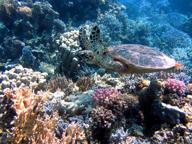 turtle_ocean_sea_meeresbewohner_underwater_red_sea_coral_diving-1119319.jpg!d.jpeg